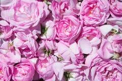 Pétales de rose de thé Culture industrielle de Rose contenant de l'huile Photos libres de droits