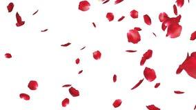 Pétales de rose tombant, contre le blanc, longueur courante