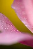 Pétales de tulipe Photographie stock libre de droits