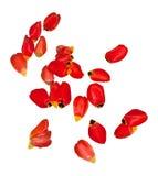Pétales de tulipe rouge d'isolement sur le blanc photographie stock