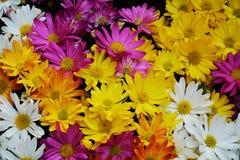 Pétales de violette blanche et fleurs jaune-orange vifs, fond naturel, beauté de jardin Photo stock
