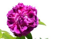Pétales denses du Général rose Stefanik de violette de plus grand diamètre par l'éleveur tchèque Bohm 1931, fond blanc Photographie stock