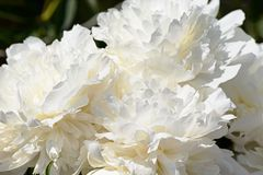 Pétales des pivoines blanches photos stock