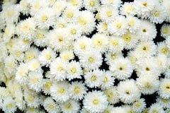 Pétales et fleurs blancs, fond naturel, beauté de jardin Image libre de droits