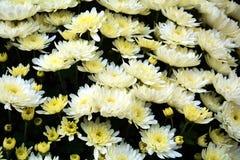 Pétales et fleurs blancs vifs, fond naturel, beauté de jardin Photo libre de droits
