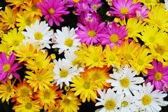 Pétales et fleurs colorés, fond naturel, beauté de jardin Photo libre de droits