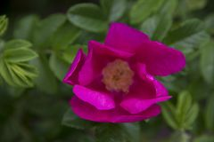 Pétales fuchsia d'une rose sauvage image stock