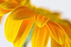 Pétales jaunes Photo libre de droits