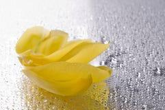 Pétales jaunes de tulipe se trouvant sur la surface grise humide Photographie stock libre de droits