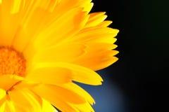 Pétales jaunes lumineux de fleur rougeoyant à la lumière du soleil image stock