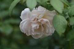 Pétales magnifiques sur cette Rose blanche en pleine floraison Photos stock