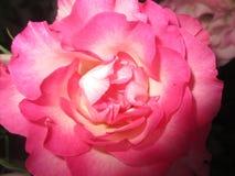 pétales roses Photographie stock