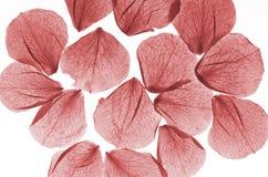 Pétales roses d'isolement photographie stock libre de droits