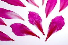 Pétales roses de fleur photo libre de droits