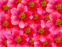 Pétales roses de fleurs photos libres de droits