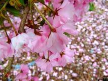 Pétales roses de fleurs de cerisier s'étendant sur une terre d'écorce photos libres de droits