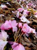 Pétales roses de fleurs de cerisier s'étendant sur une terre d'écorce image stock