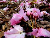 Pétales roses de fleurs de cerisier s'étendant sur une terre d'écorce images libres de droits