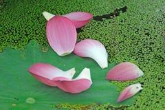 Pétales roses de lotus Photo libre de droits