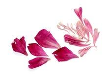 Pétales roses de péon dispersés sur la table Image libre de droits