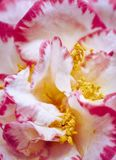 Pétales roses et blancs photos libres de droits