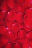 Pétales roses frais Photographie stock libre de droits