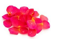 Pétales roses jaunes roses, au-dessus de blanc Photos libres de droits