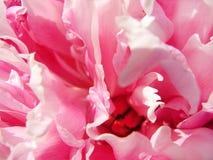 Pétales roses lumineux de pivoine en gros plan Photo libre de droits