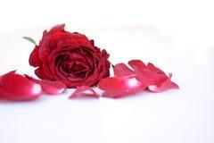 Pétales roses rouges Photos libres de droits