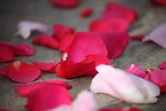 Pétales roses rouges avec peu de eux à l'orientation Photographie stock libre de droits