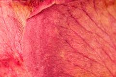 Pétales roses secs Image libre de droits