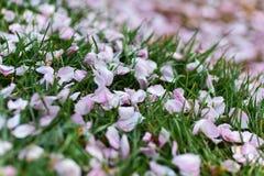 Pétales roses sur des herbes Photo libre de droits