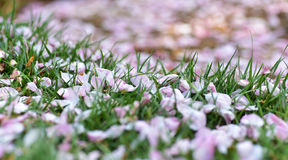 Pétales roses sur des herbes Image libre de droits
