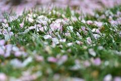 Pétales roses sur la pelouse verte Photo stock