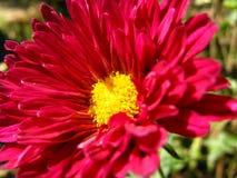 Pétales rouge-foncé de fleur d'aster de Chine dans le macro photographie stock libre de droits
