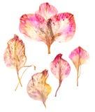 Pétales secs de fleur de glaïeul Photo stock