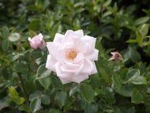 Pétales simples parfaits de fleur de rose de blanc sur l'arbuste Images libres de droits