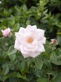 Pétales simples parfaits de fleur de rose de blanc sur l'arbuste Photographie stock libre de droits