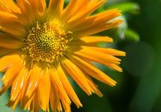 Pétales solaires de calendula Photo libre de droits