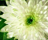 Pétales vert clair de chrysanthème macro Photo libre de droits