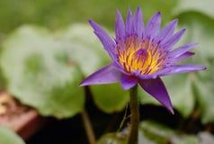 Pétalo amarillo púrpura del loto Fotos de archivo libres de regalías