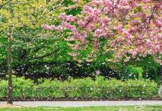 Pétalo asombroso de la flor de cerezo Fotos de archivo libres de regalías
