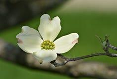 Pétalo blanco del cornejo floreciente Imagen de archivo
