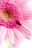 Pétalo de la flor con el ladybug Fotos de archivo libres de regalías