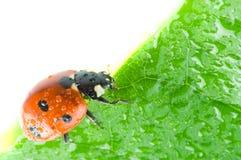 Pétalo de la flor con el ladybug Fotografía de archivo