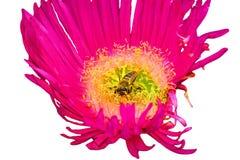Pétalo de la flor y una abeja Imagenes de archivo