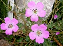 Pétalo de la fragilidad de la flor de la naturaleza Imagen de archivo libre de regalías