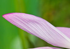 Pétalo de Lotus Fotografía de archivo libre de regalías