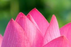 Pétalo de Lotus Fotografía de archivo