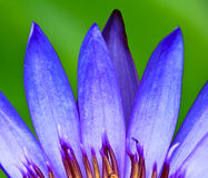 Pétalo de Lotus Imagenes de archivo